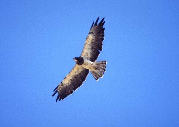 Coming through – Swainson's Hawks