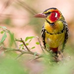red-and-yellow-barbet-ET2016-3-5349